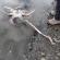 Cerca de cien jibias vararon en cercanias a desembocadura de Estero Chacao